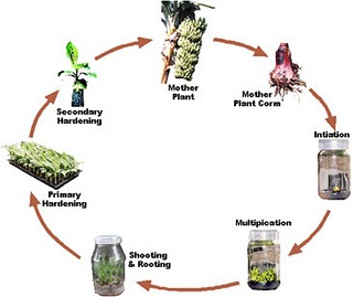 tissue culture methods and applications